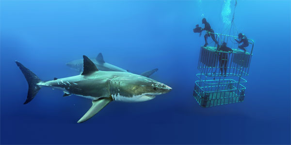 Great White Sharks with Divers