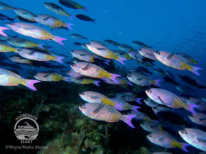 Tropical fish in Belize