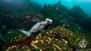 Marine iguana in the Galapagos