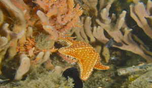Come Diving with Nautilus Aquatics at the Blue Heron Bridge, Flordia and see Star Fish