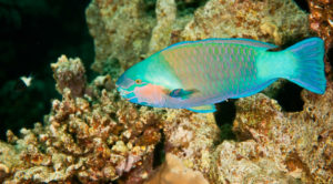 Parrot Fish with Nautilus Aquatics